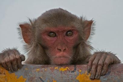 mad_monkey